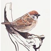 A beautiful print of a sparrow on a wooden perch by Gill Drew